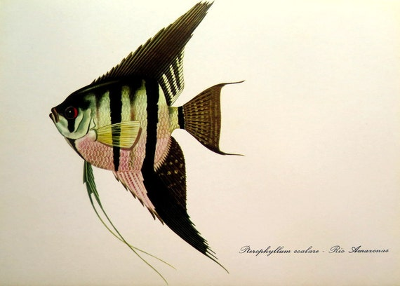 1975 Freshwater Angelfish Lithograph Engraving Antique Fish Etsy
