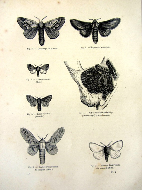 1860 Differents Types Of Moths Antique Original
