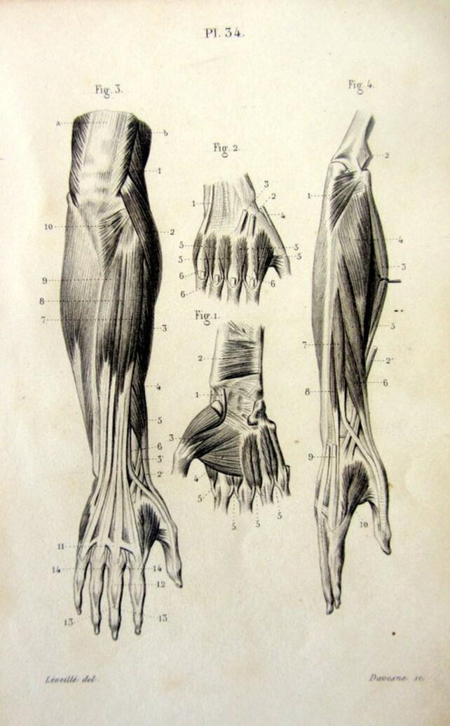 1846 antike Anatomie Myology Gravur seltene Bereich Muskeln | Etsy