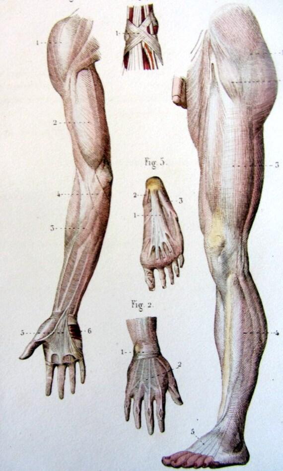 1852 antike Anatomie sehnen Gravur Lithographie Farbdruck | Etsy