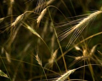 Wheat fields,New Jersey Landscapes,Golden color Decor,Wheatgrass Art,Green Yellow Decor,Photo of Wheat, Wall Art, wall Decor,