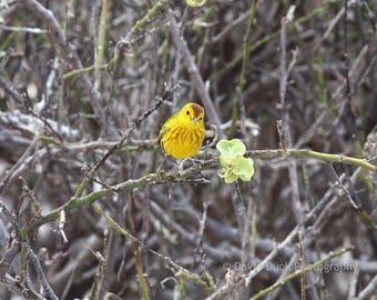 Yellow Warbler, Galapagos Islands, Ecuador, Bird Photograph, Bird, Galapagos wildlife.