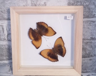 Butterfly, Butterfly Frame, Curiosity, Framed Butterfly, Insect, Handmade, Butterflies, Insect Art, Butterfly Art, Real Butterfly.