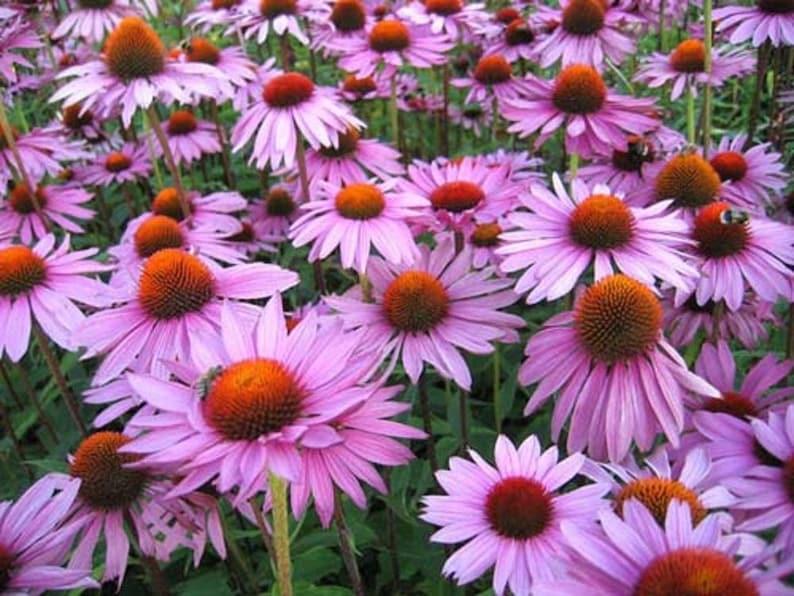 Purple coneflower Herbaceous perennial \u042d\u0445\u0438\u043d\u0430\u0446\u0435\u044f \u043f\u0443\u0440\u043f\u0443\u0440\u043d\u0430\u044f Echinacea purpurea LIVE Perennial plant