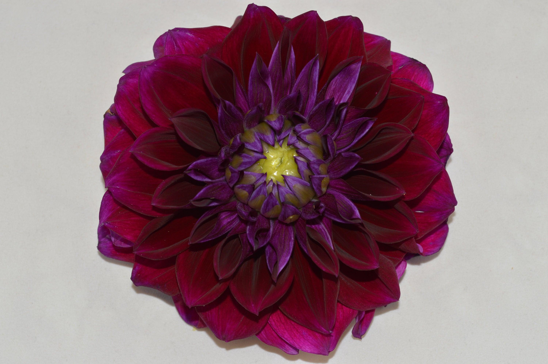 Dark purple dahlia 1 digital download photography etsy 50 izmirmasajfo