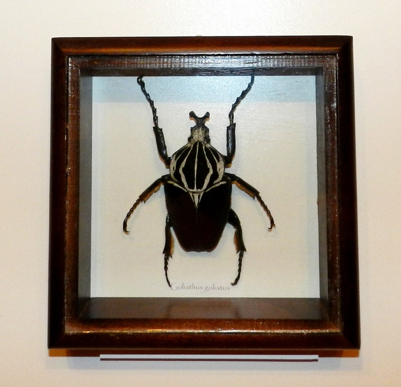 5c098cbcd07 Goliathus goliatus BIG SIZE in frame made of expensive wood | Etsy