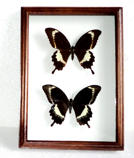 Papilio Fuscus Pair In Frame Made Of Real Wood Etsy