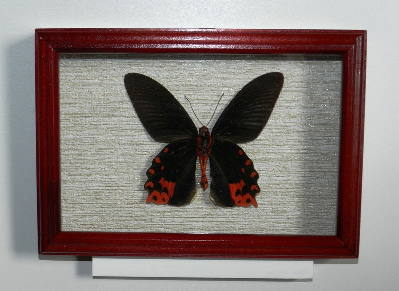 301955ed635 Real exotic butterfly in exclusive frame | Etsy