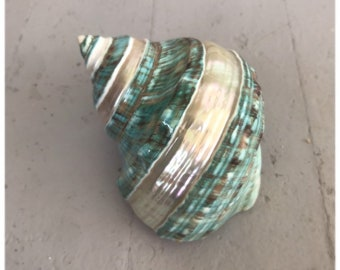 """polished banded jade turbo shell - hermit crab changing shell - opening widths - 1 3/8"""" - 2 3/8"""""""