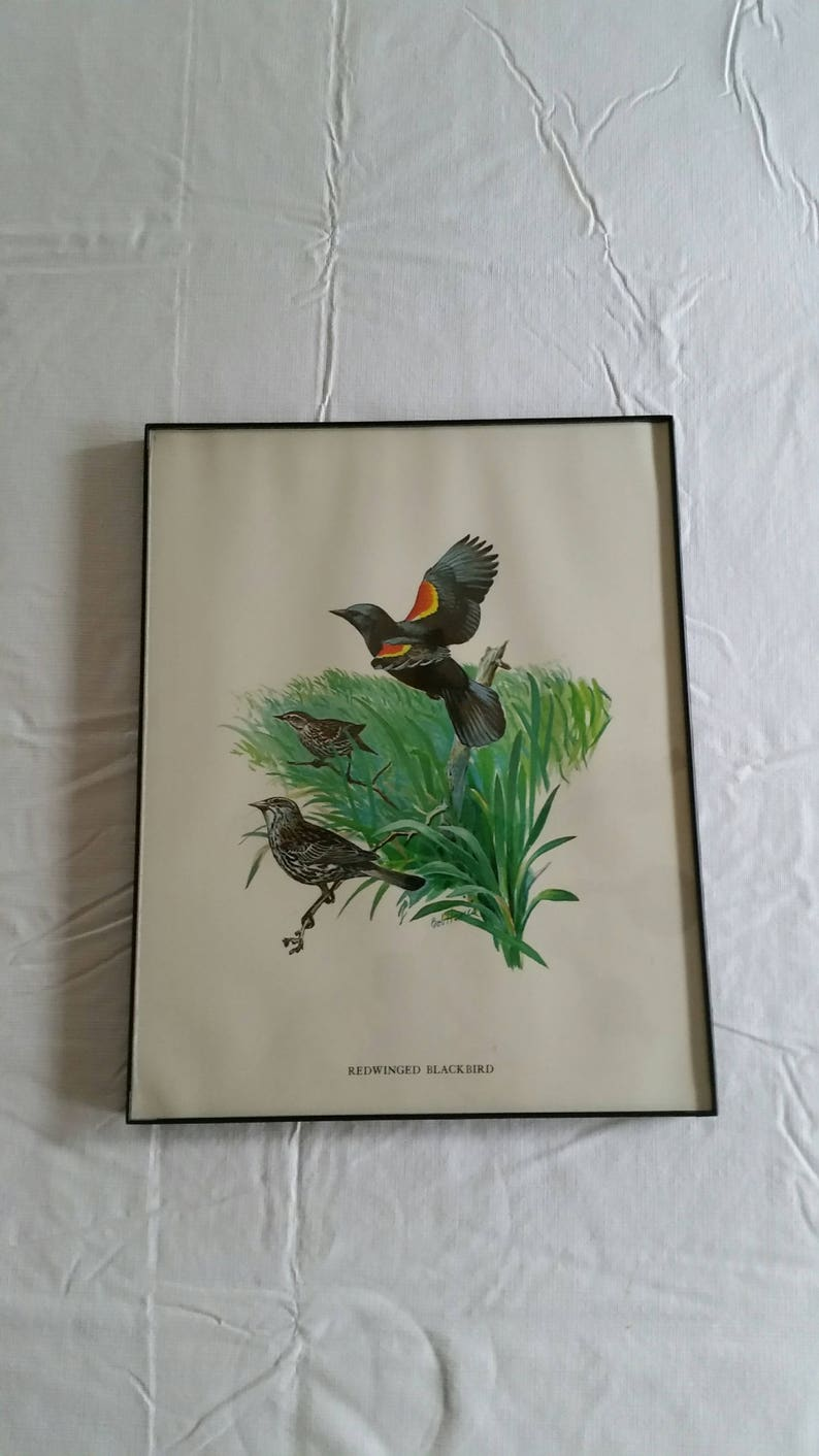redwing bird art picture photo wildlife vintage 11x14 red wing blackbird /& swallow birds signed litho color print by bob hines 1970 /'s