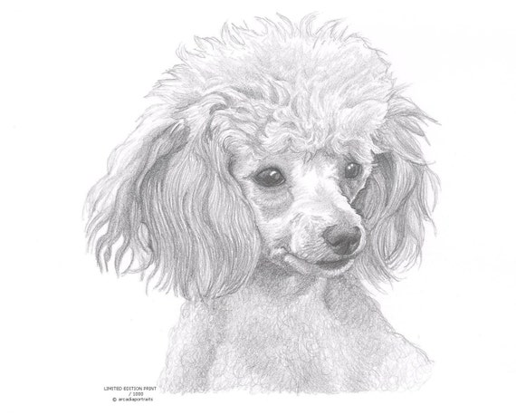 Toy poodle dog limited edition art drawing print signed by uk etsy - Dessin caniche ...