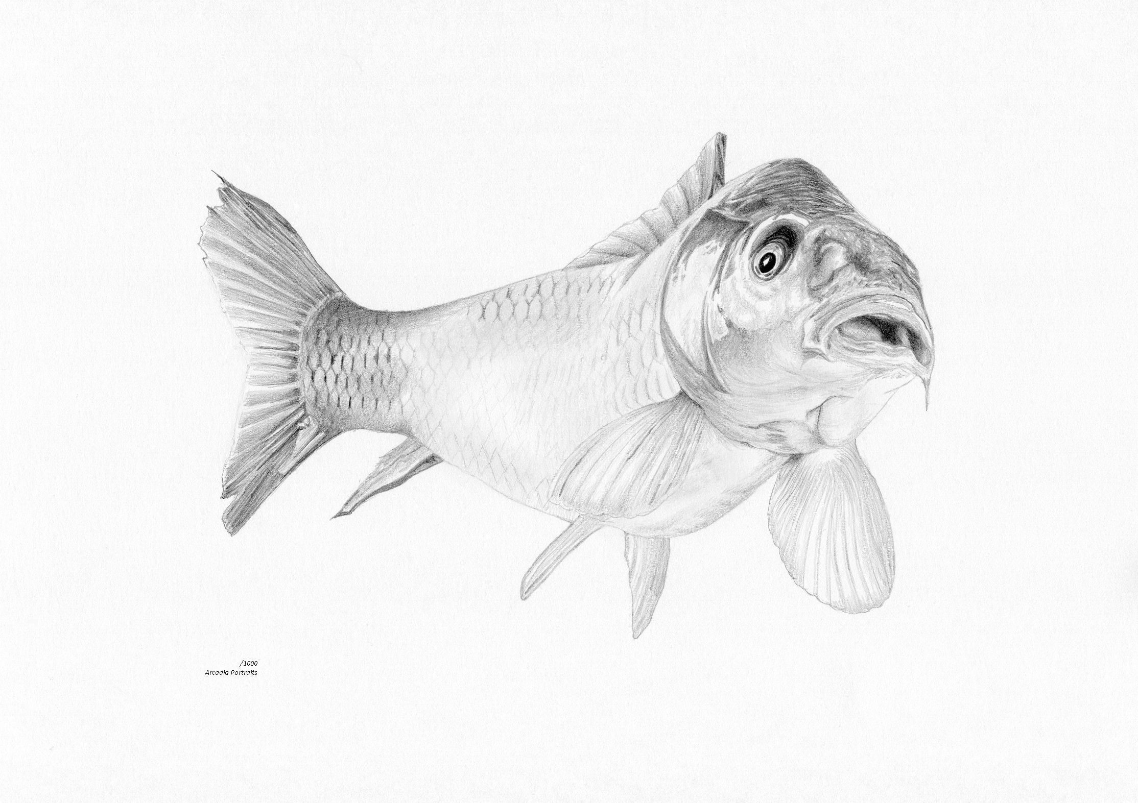 Carp fish fishing limited edition art pencil drawing print signed by uk artist