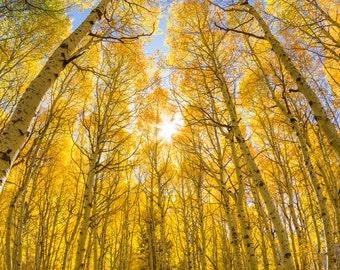 Fall color yellow aspen trees photo print / metal print