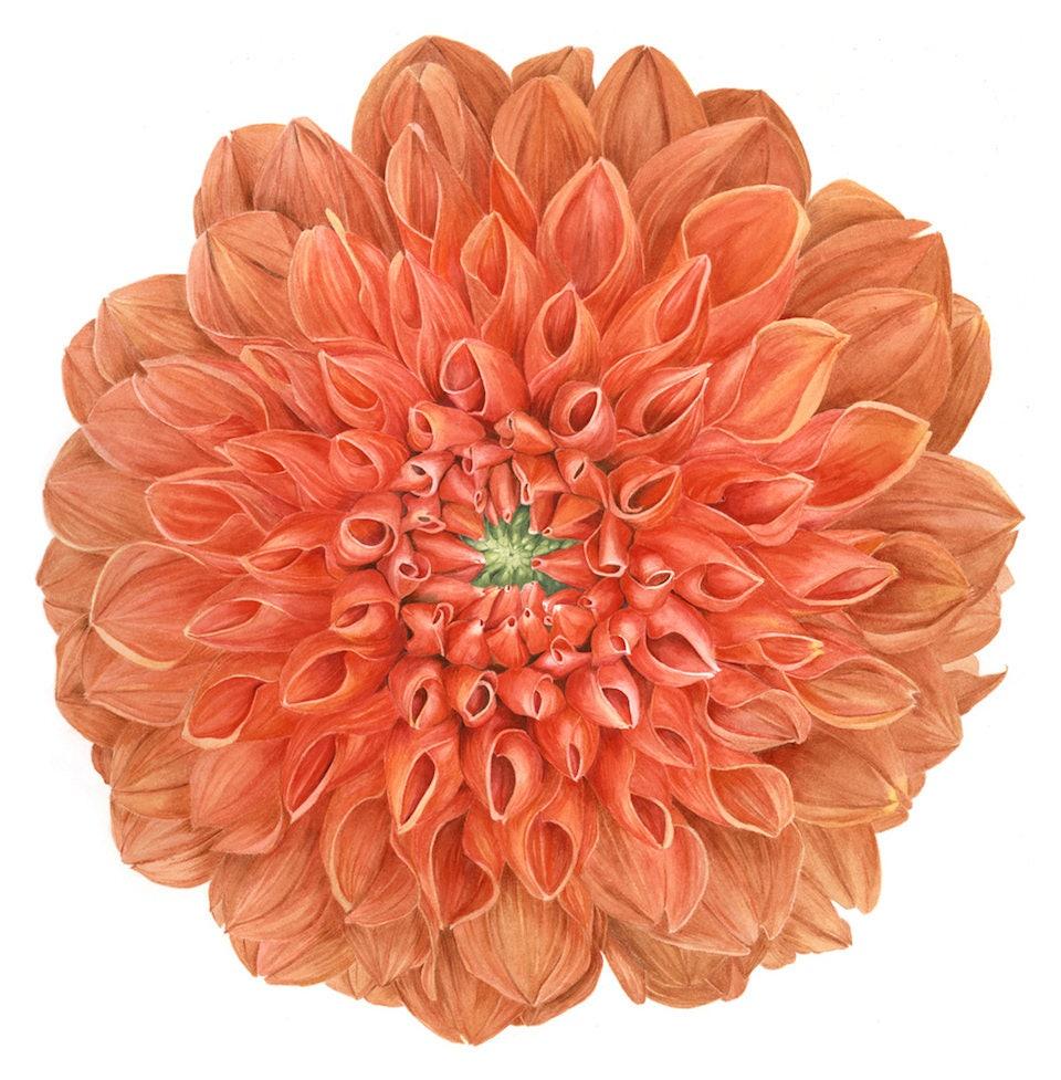 Botanical Dahlia Flower Print Watercolor Painting Flower Art Etsy