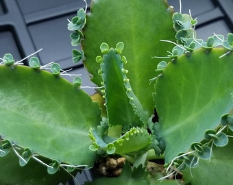 Mother of Thousands - Mother of Millions - Live plant