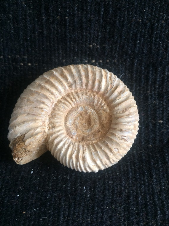Pair of polished ammonites with stands and presentation box 8 cm x 6 cm