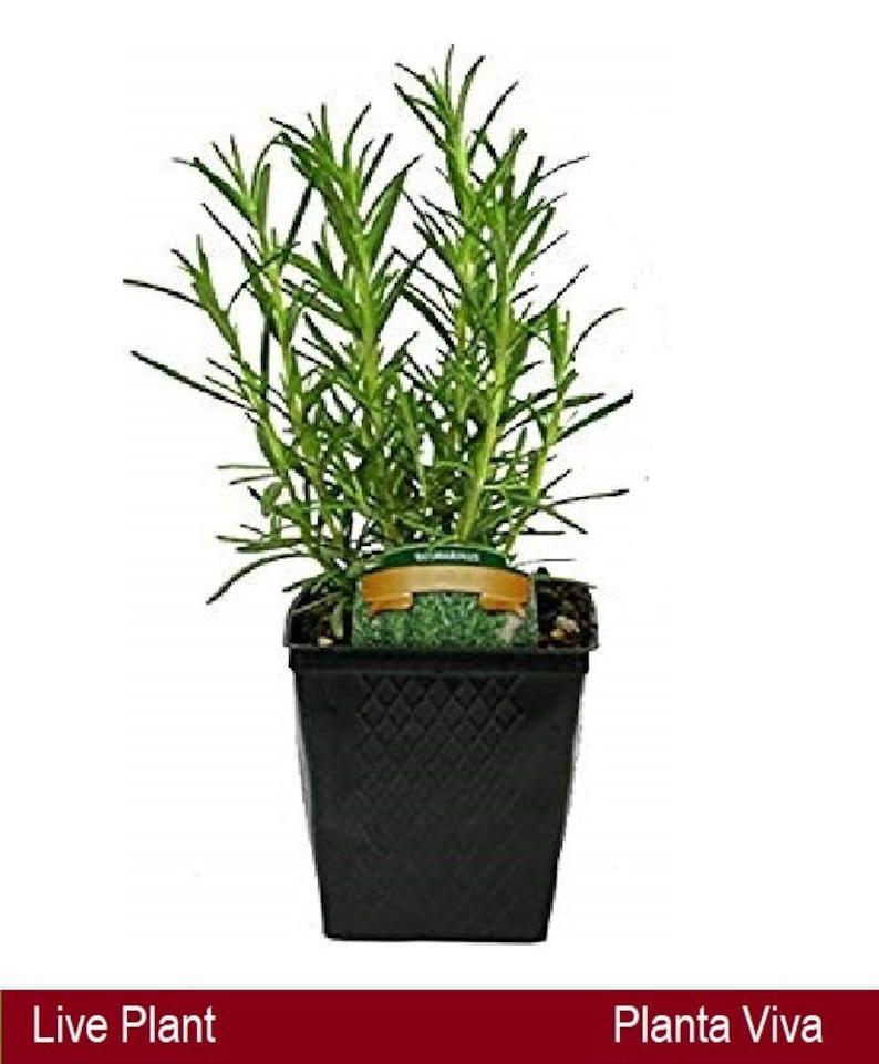 Rosemary Live Plant