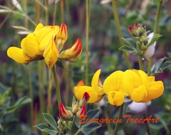 Yellow and red flowers, Canada, print