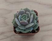 Echeveria quot Lola quot 2 quot Plant