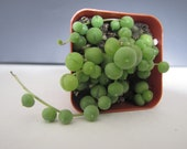 String of pearls 2 quot
