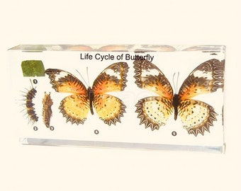 Butterfly Life Cycle Specimen | Resin