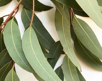 Gumnuts,Leaves,Pine Cone