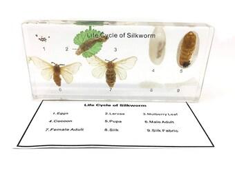 Silkworm Life Cycle Specimen