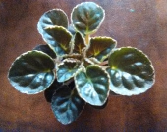 African Violet - Buckeyes Enough Pizzazz