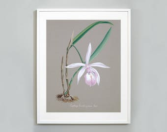 Orchid Botanical Art Print, Watercolor Painting, Museum quality, Wall Art, Floral Print, Cattleya Intermedia Orchid