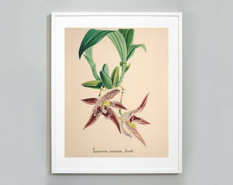 Orchid Botanical Art Print, Watercolor Painting, Museum quality, Wall Art, Floral Print,  Paphinia cristata Orchid