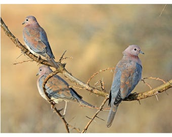 African Mourning Doves, wildlife photography, Kenya, Africa, bird photography, doves, fine art photography, nature photography, bird lovers