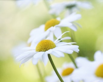 daisies, white flowers, flower photography, floral wall art, fine art photography, nature photography, botanical print, floral home decor