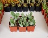 Crassula obvallata -2 inch potted succulent -live succulent plants