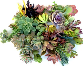 20 succulent clippings succulent cuttings 20 different succulent clippings succulent kit succulent garden