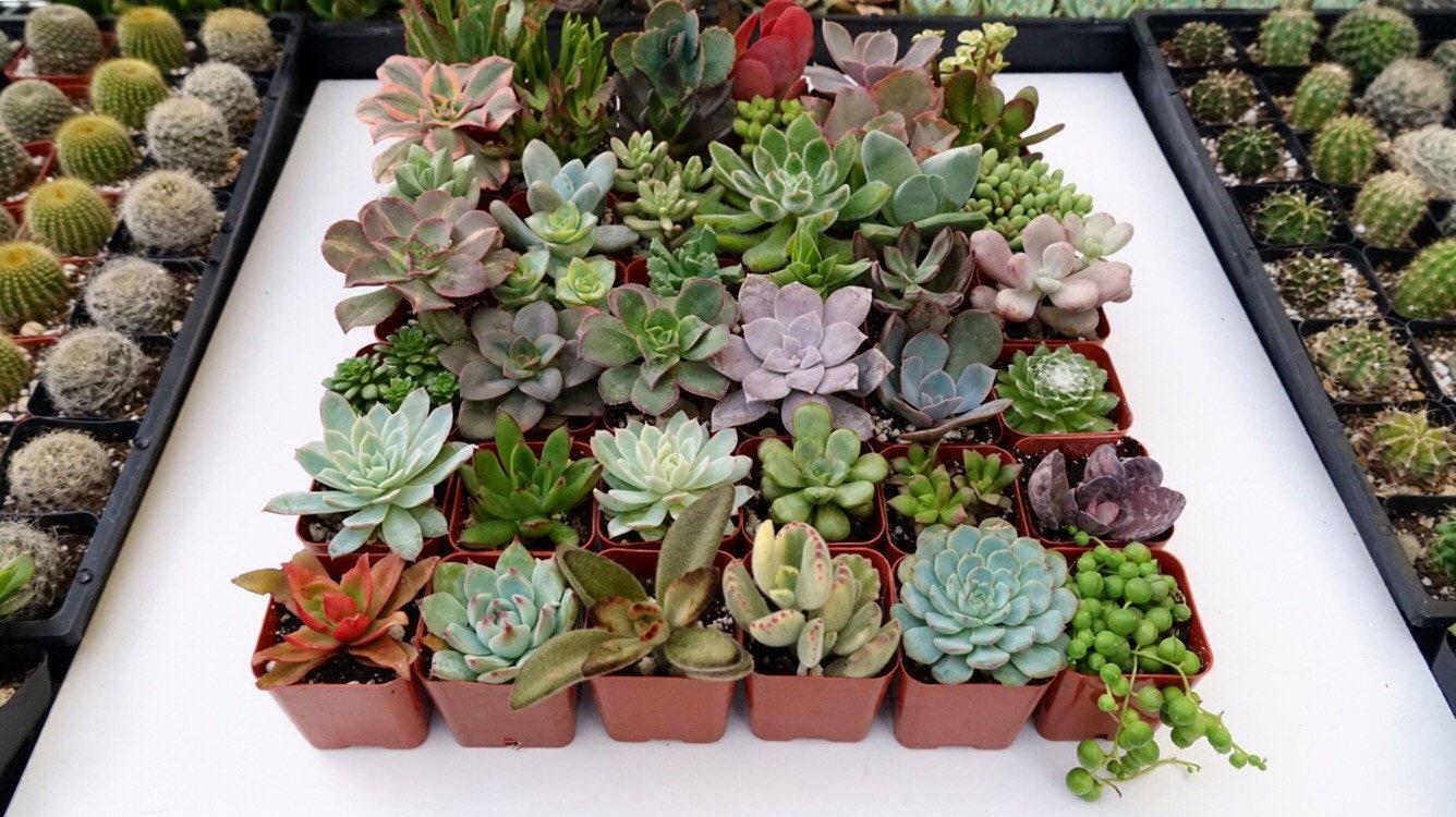 pots en plastique de 6 plantes succulentes en pot plante etsy. Black Bedroom Furniture Sets. Home Design Ideas