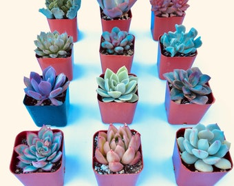 "Potted Succulents 2"" inch POTTED succulents assorted Succulent plants Echeveria succulent collection wedding favors"