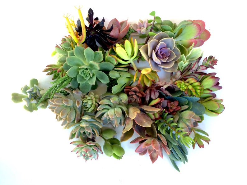 15 succulents cuttings succulent clippings succulent plants image 0