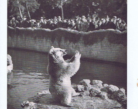 Bear at Zoo in Paris After WW2 1946 Vintage Magazine Photo