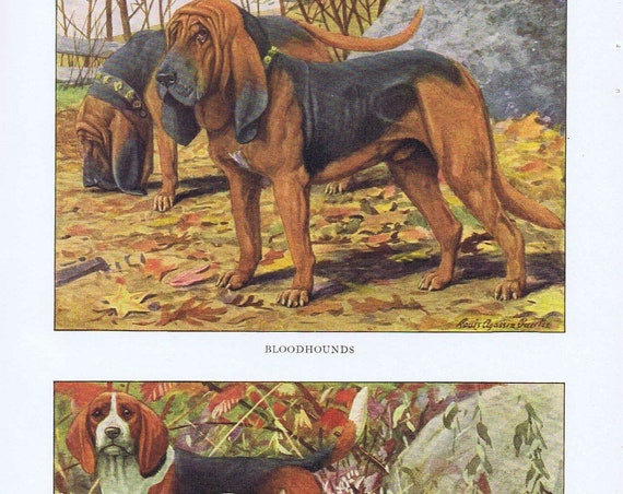 Old Dog Drawings of Basset Hound, Beagle and Bloodhound Dog Breeds by Louis A. Fuertes from 1919