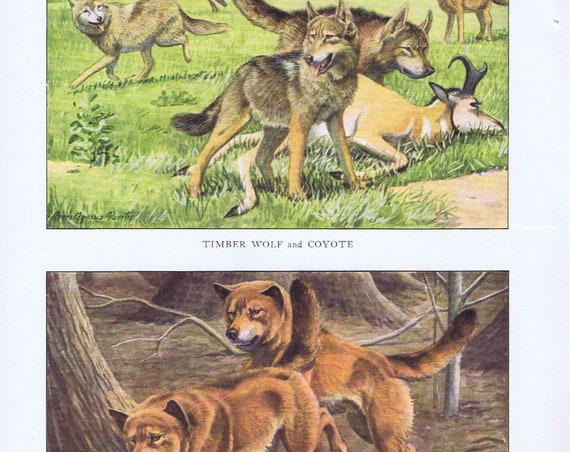 Old Dog Drawings of Timber Wolf, Coyote and Dingo Breeds by Louis A. Fuertes from 1919