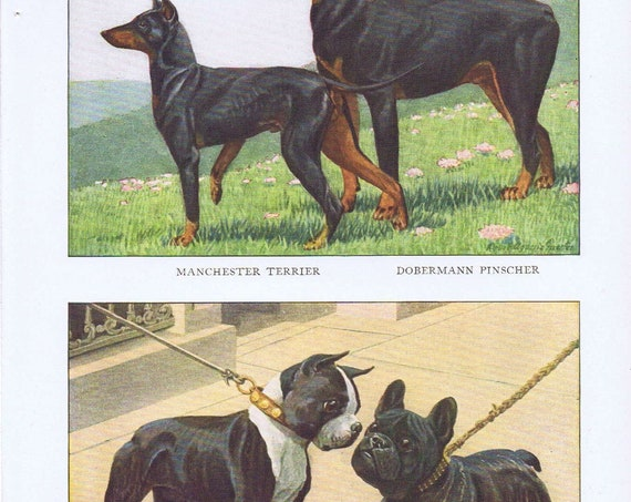 Old Dog Drawings of French Bulldog, Boston Terrier, Doberman Pinscher and Manchester Terrier Breeds by Louis A. Fuertes from 1919