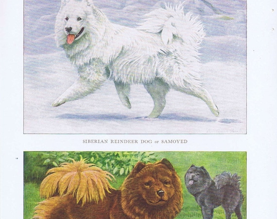 Old Dog Drawings of Chow-Chow and Siberian Reindeer Breeds by Louis A. Fuertes from 1919