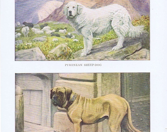 Old Dog Drawings of Mastiff and Pyrenean Sheep Dog Breeds by Louis A. Fuertes from 1919