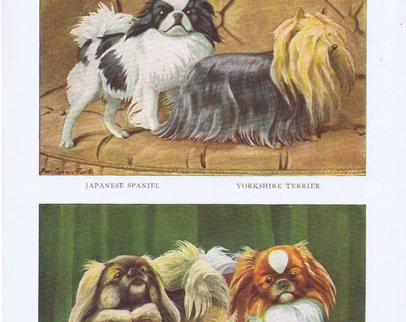 Old Dog Drawings of Japanese Spaniel, Yorkshire Terrier and Pekingese Dog Breeds by Louis A. Fuertes from 1919