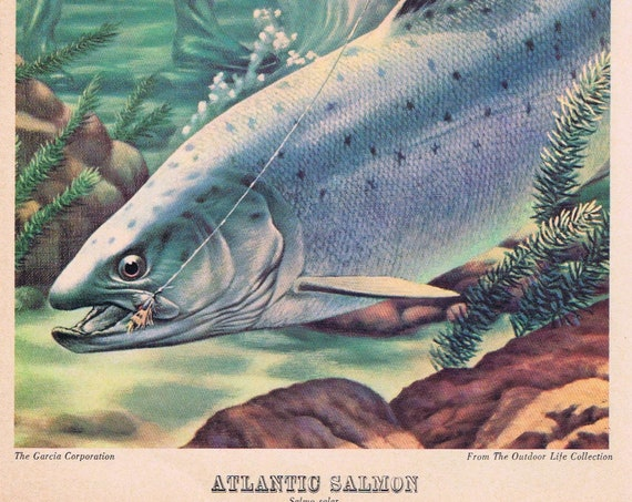 Atlantic Salmon Outdoor Life Garcia Art Fish Drawing Original and Garcia Fly Casting Rods and Reels Would Look Great Framed