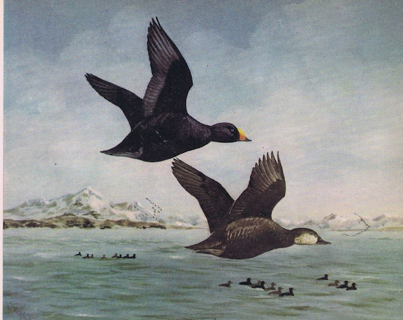 American Scoter Duck Painting in Sports Afield vintage art series by Angus H. Shortt