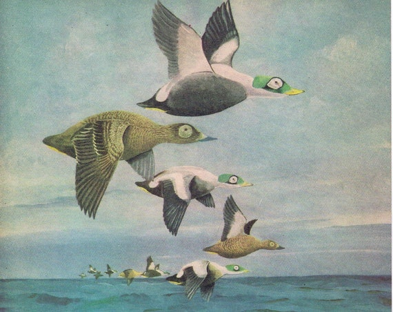 Spectacled Eider Ducks Painting in Sports Afield 1946 series by Angus H. Shortt