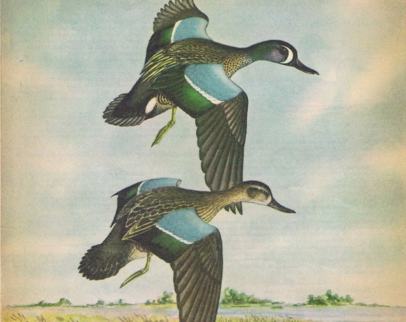 Blue-Winged Teal Ducks Painting in Sports Afield 1946 series by Angus H. Shortt