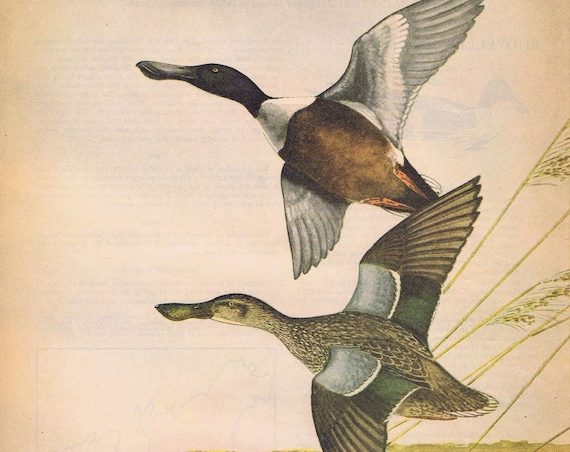 Shoveller Ducks Painting in Sports Afield 1946 series by Angus H. Shortt