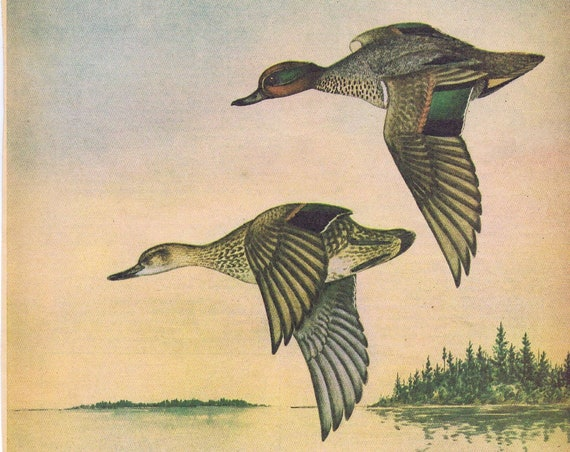 Green-Winged Teal Ducks Painting in Sports Afield 1946 series by Angus H. Shortt